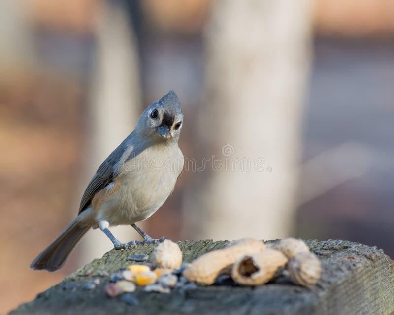 被栖息的北美山雀簇生了 免版税库存图片