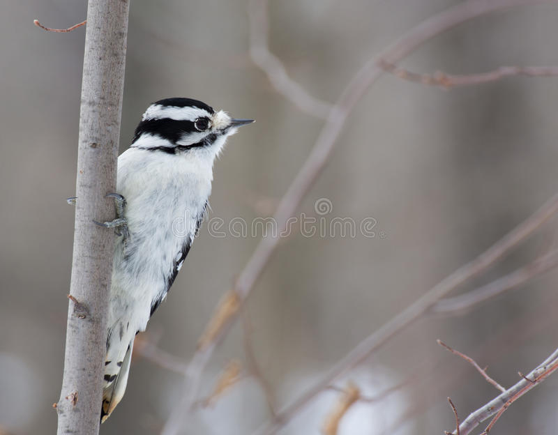 被栖息的柔软的啄木鸟 库存照片