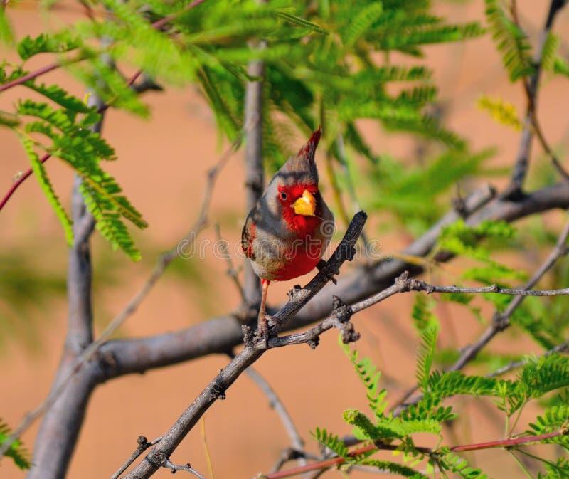 被栖息的沙漠主要Cardinalis sinuatus 库存图片