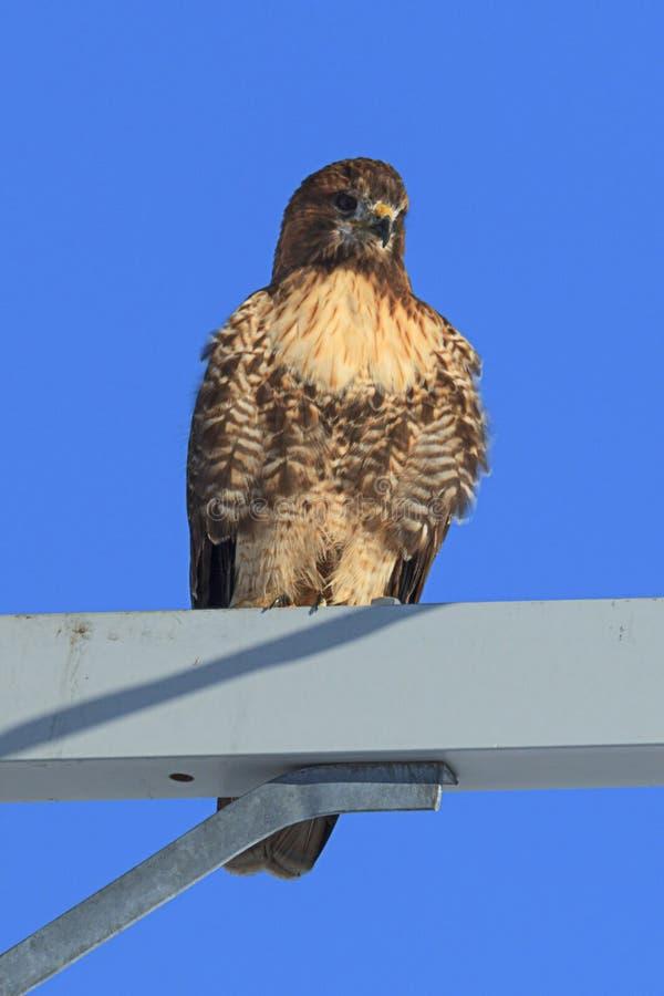 被栖息的红色盯梢了鹰反对蓝天 库存图片