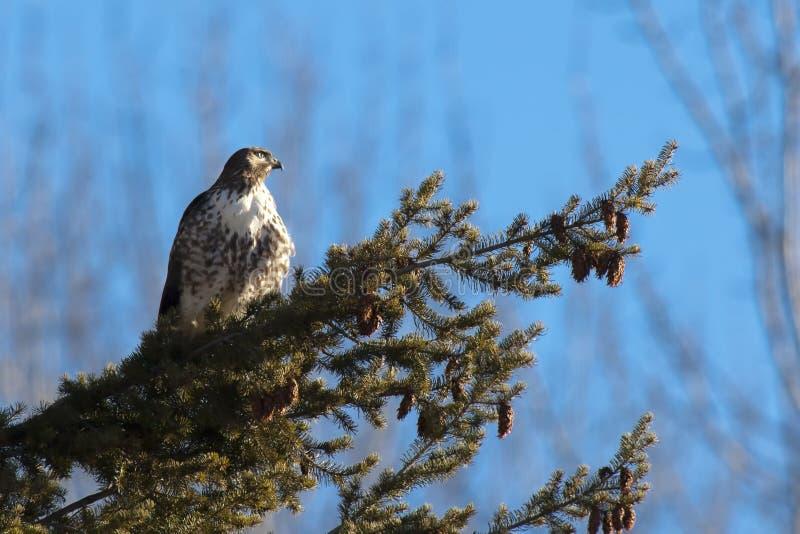 被栖息的红色被盯梢的鹰。 免版税库存图片