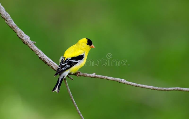 被栖息的美国分行金翅雀 库存图片