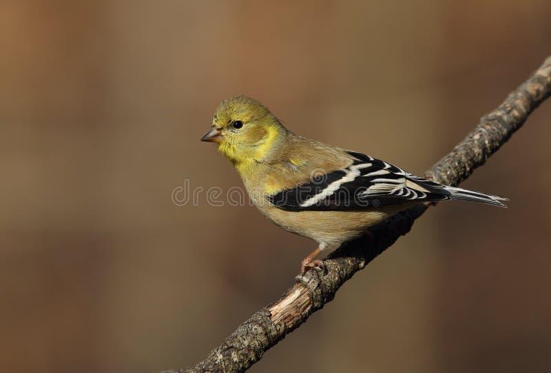 被栖息的美国金翅雀 免版税库存照片