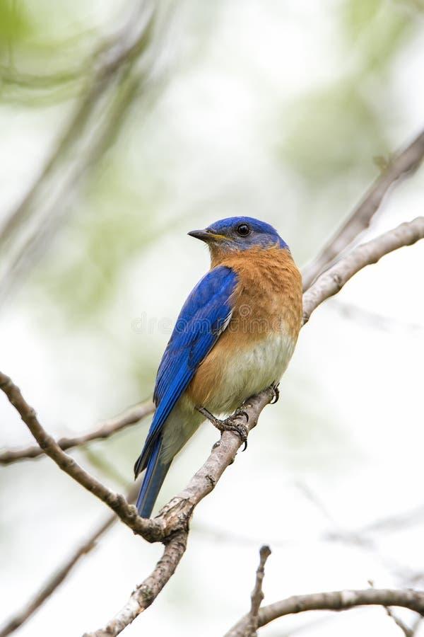 被栖息的蓝色鸟 免版税图库摄影