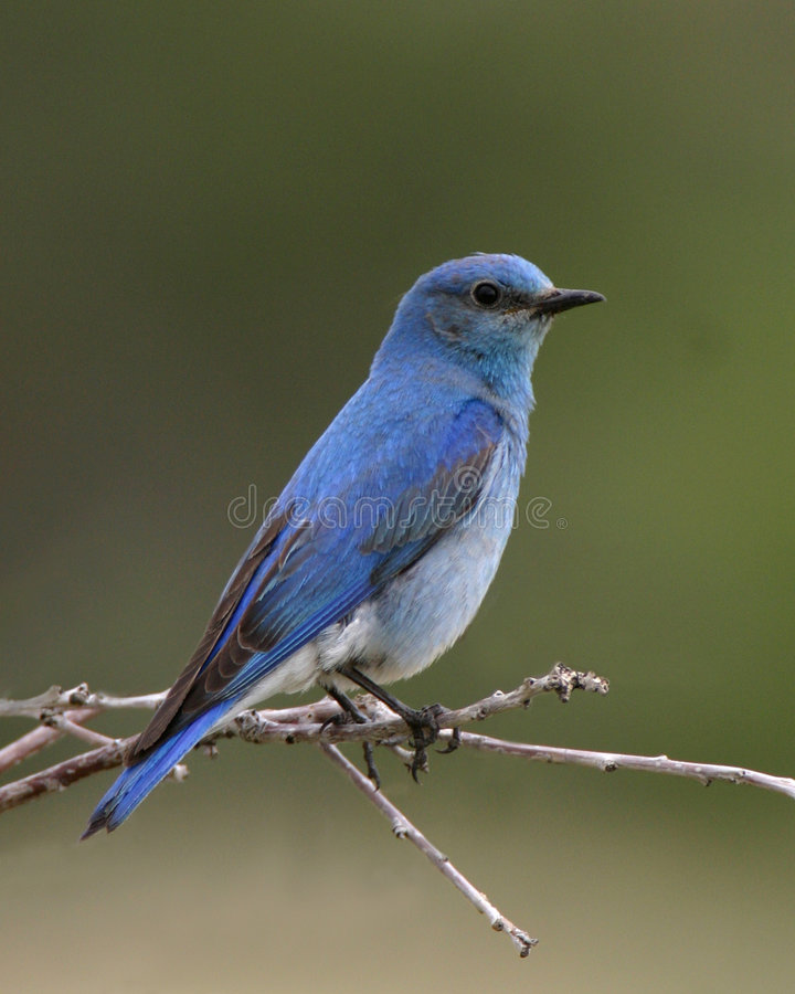 被栖息的蓝鸫
