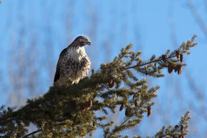 被栖息的鹰是机敏的。 免版税库存图片