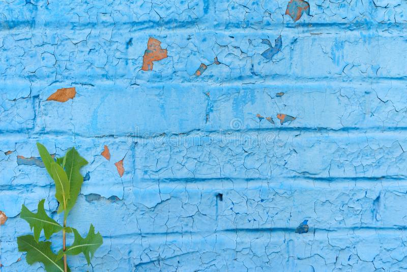被毁坏的砖墙,绘与蓝色油漆,崩裂并且被毁坏,在年轻绿色植物旁边增长片段 免版税库存图片