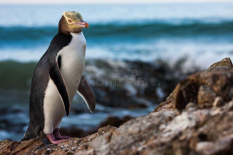 被注视的企鹅黄色 免版税库存图片