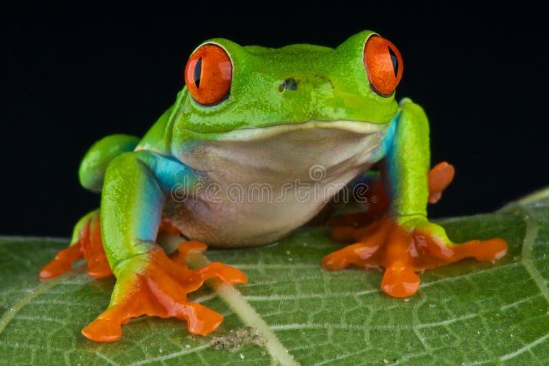 被注视的红色treefrog 库存照片