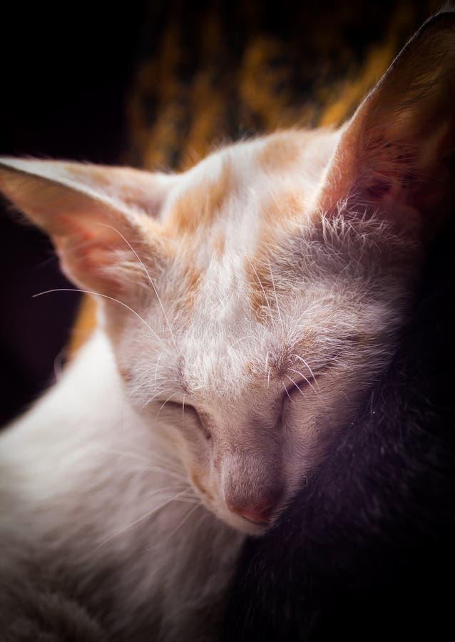 被注视的蓝色猫 库存照片