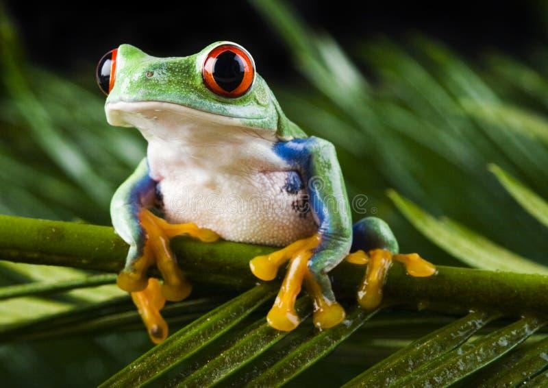 被注视的青蛙叶子红色 免版税库存图片