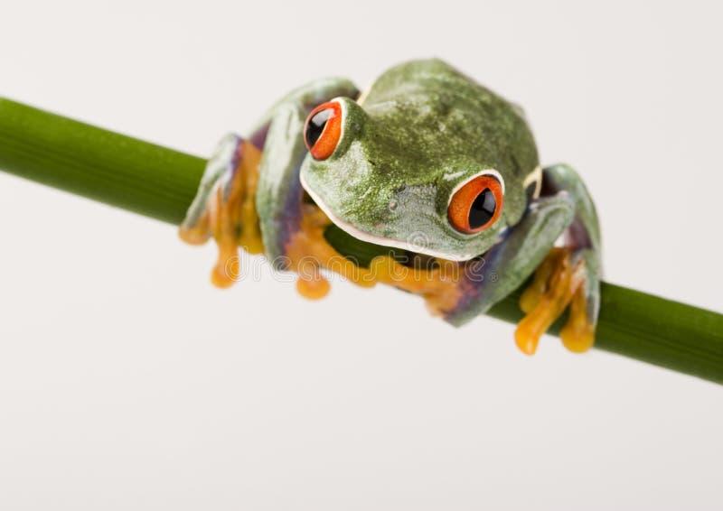 被注视的青蛙红色结构树 免版税图库摄影