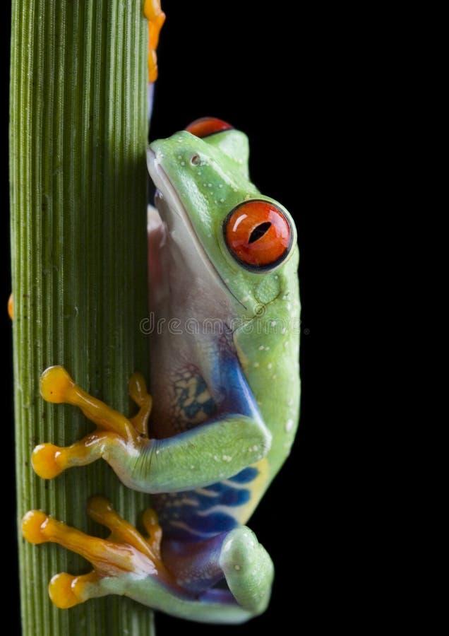 被注视的青蛙红色结构树 图库摄影