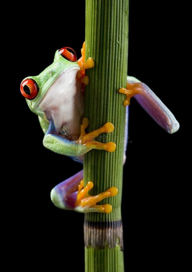 被注视的青蛙红色 库存照片
