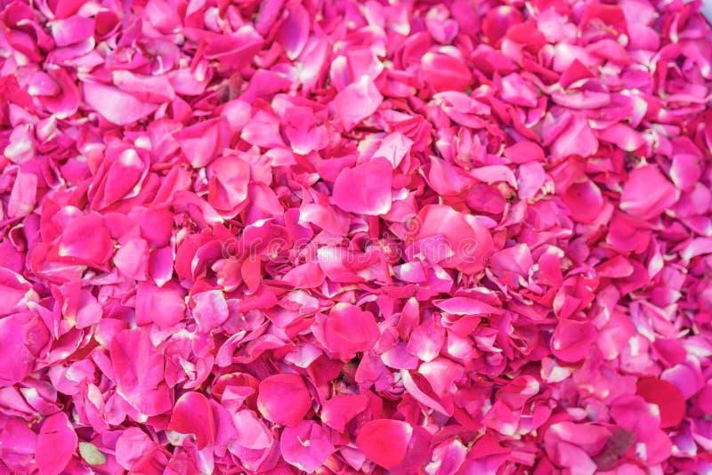 被洒的新桃红色玫瑰花瓣 免版税库存图片