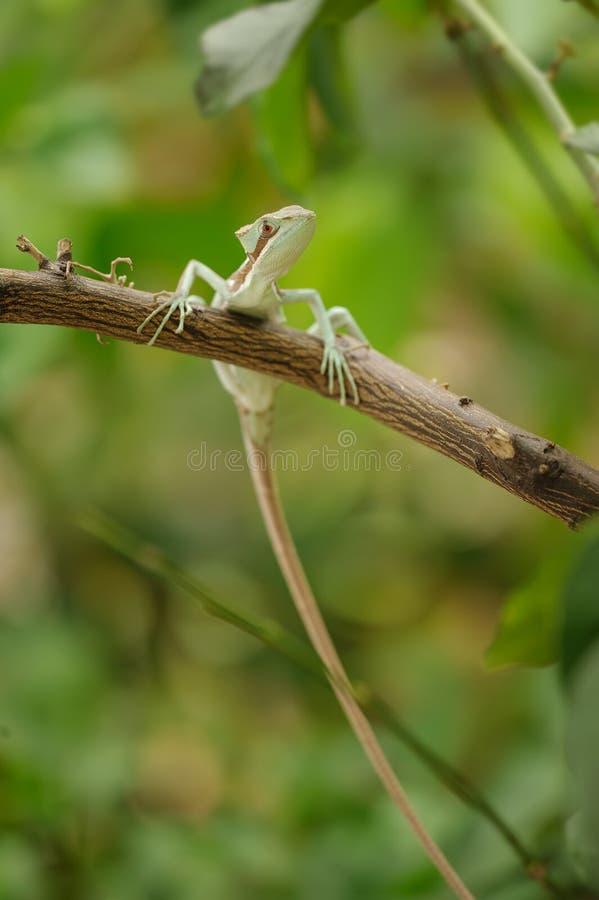 被涂抹的 在分支的蜥蜴与长尾巴 库存照片