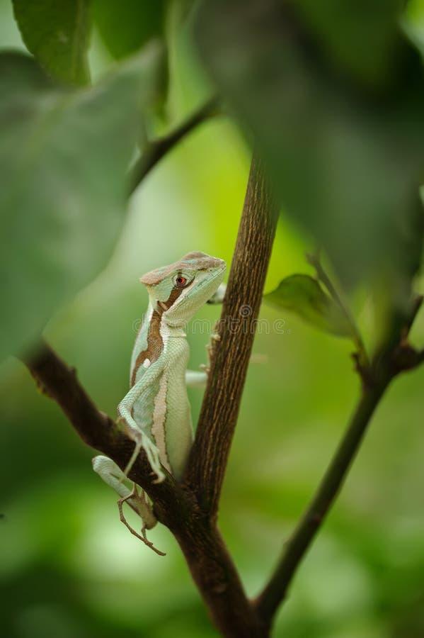 被涂抹的 在分行的蜥蜴 对Laemanctus serratus的特写镜头视图 墨西哥龙 免版税图库摄影