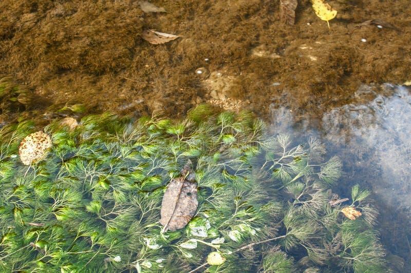 被淹没的淡水植物 免版税库存图片