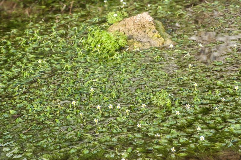 被淹没的淡水植物 库存图片
