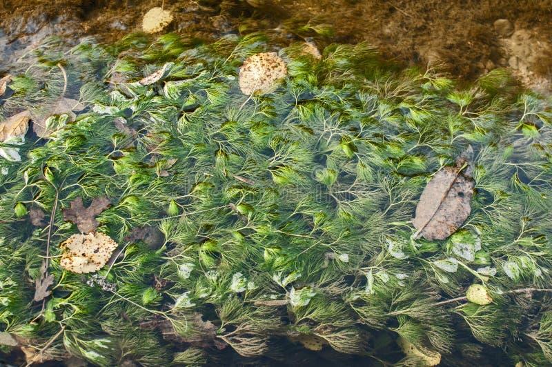 被淹没的淡水植物 库存照片