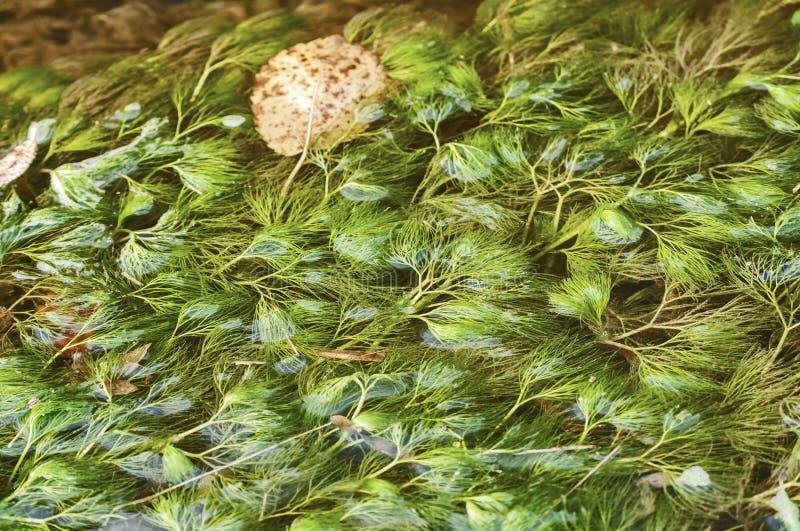 被淹没的淡水植物 免版税库存照片