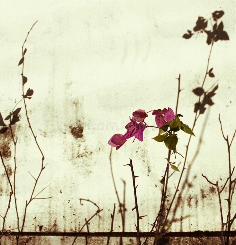 被漂白的九重葛粉红色墙壁 库存照片