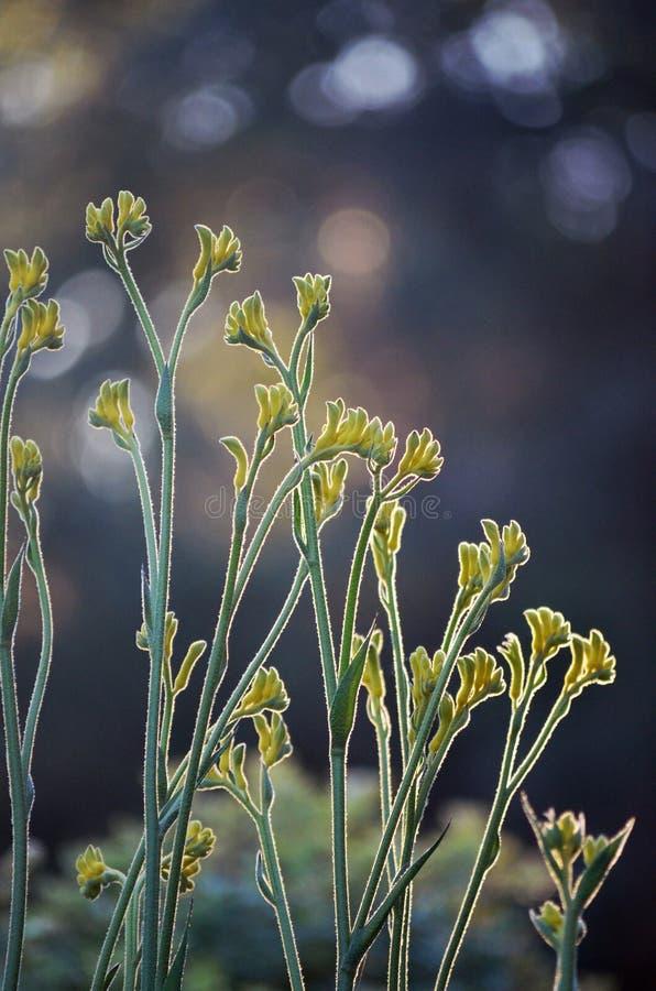 被点燃的澳大利亚当地黄色袋鼠爪子花 免版税库存照片