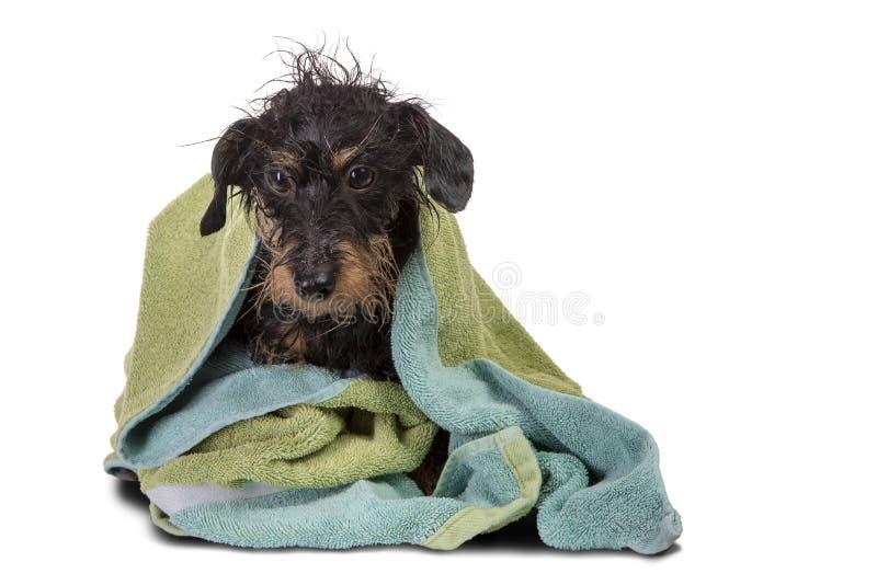 被烘干的硬毛的达克斯猎犬 库存照片