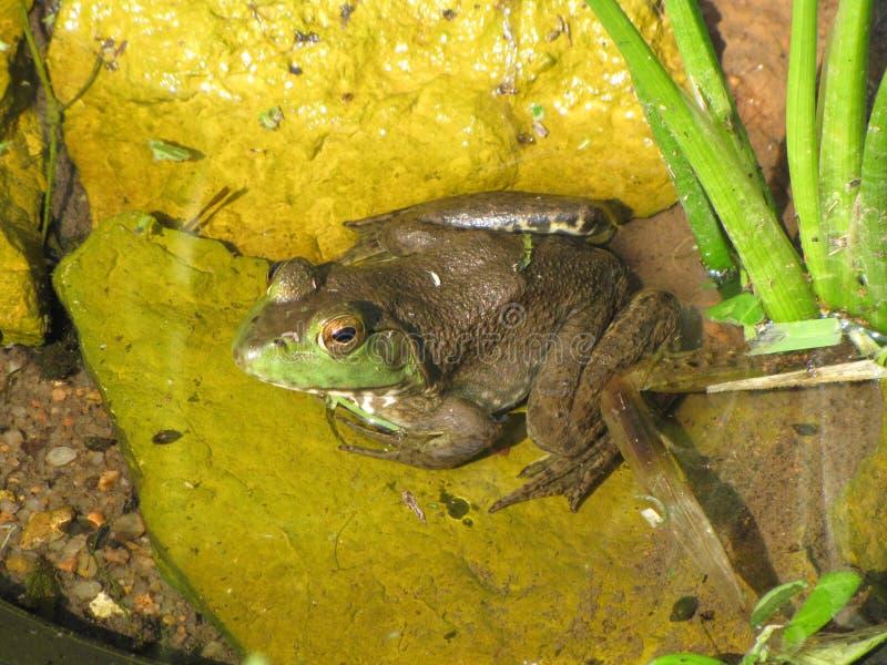 被烦扰的被注视的牛蛙 免版税库存照片