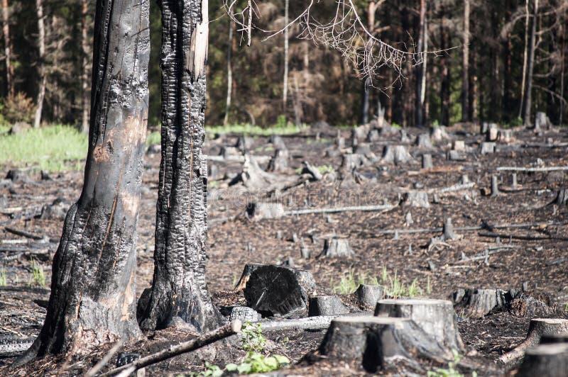 被烧的区域在森林火灾以后的阳光下在再生沼地 库存照片