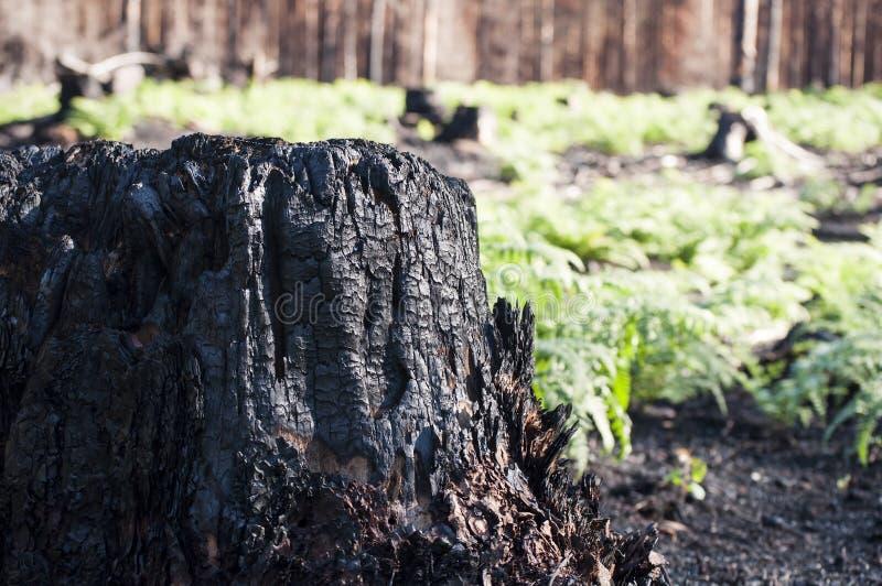被烧的树桩和新的生活特写镜头与绿色蕨在阳光下在森林火灾以后 库存照片