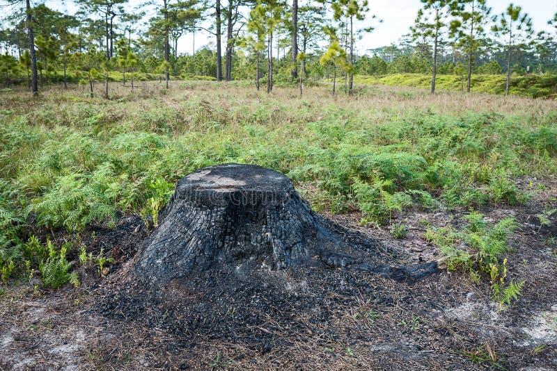 被烧的树桩的关闭 免版税库存照片