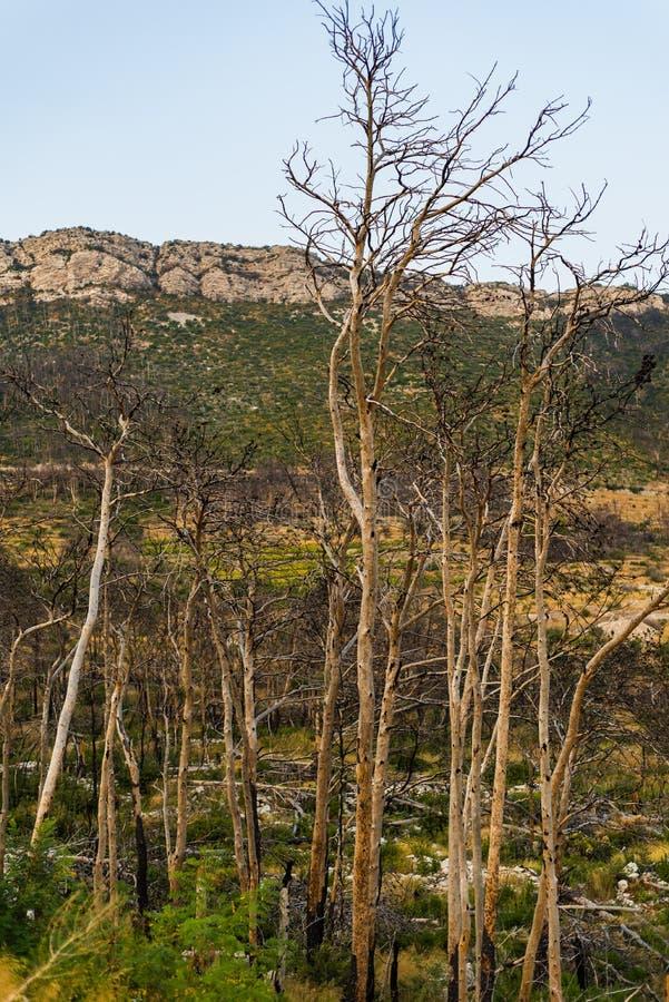 被烧的森林在特雷斯塔尼克村庄,Peljesac半岛,达尔马提亚,克罗地亚 免版税库存图片