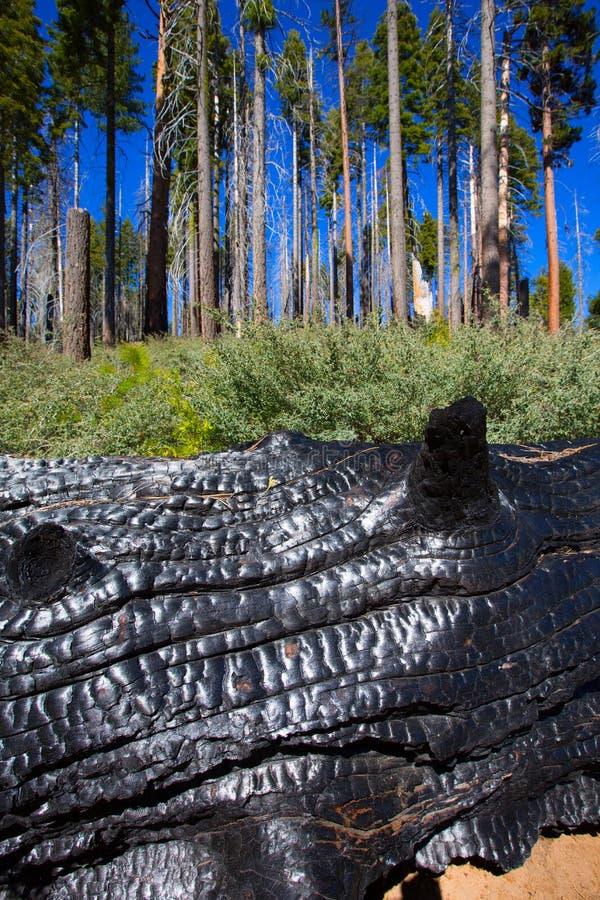 被烧的被烧焦的红木树干在优胜美地 免版税库存图片