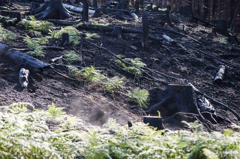 被烧的黑树桩和绿色蕨在阳光下在森林火灾以后 库存图片