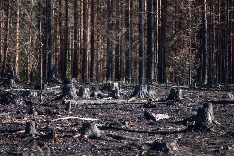 被烧的黑树桩在森林火灾以后的阳光下在再生沼地 库存照片