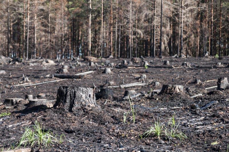被烧的黑树桩在森林火灾以后的阳光下在沼地 图库摄影