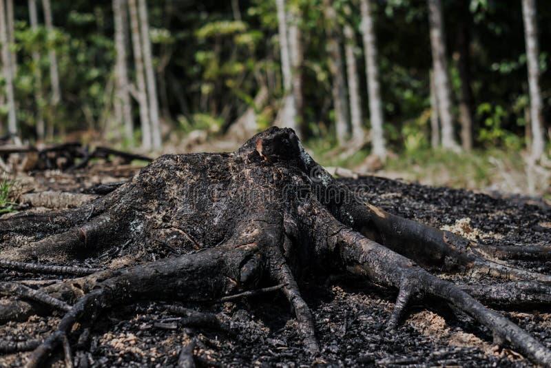 被烧的黑桉树产树胶之树树桩 免版税库存图片