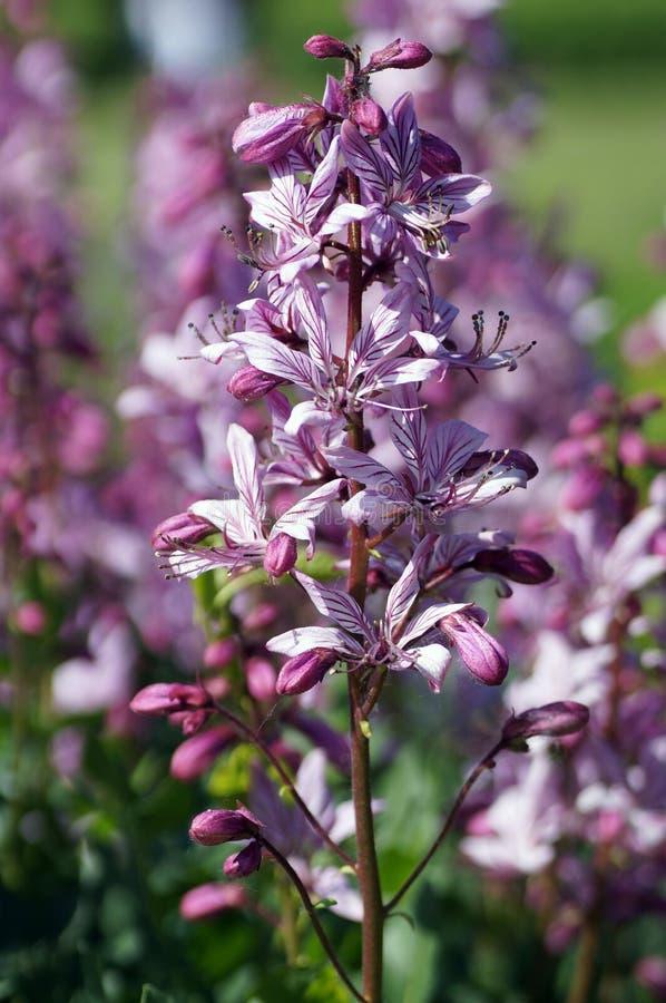 被烫伤的紫罗兰色花 库存照片