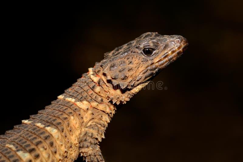 被环绕的蜥蜴 免版税库存图片