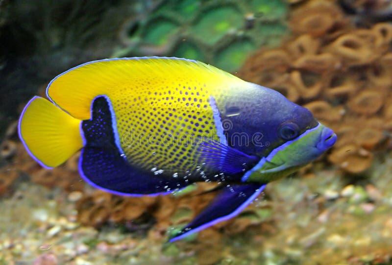 被环绕的1神仙鱼蓝色 免版税库存照片