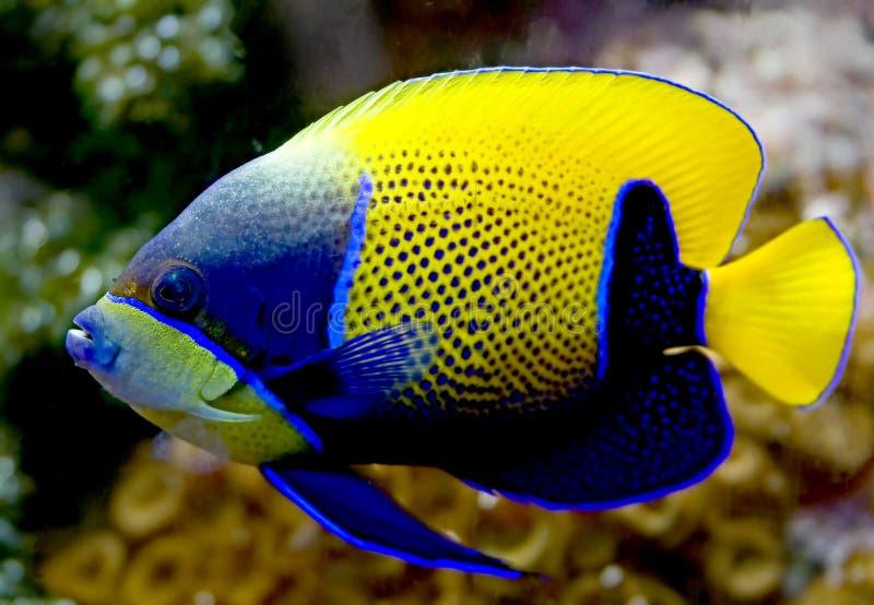 被环绕的4条神仙鱼蓝色 免版税图库摄影