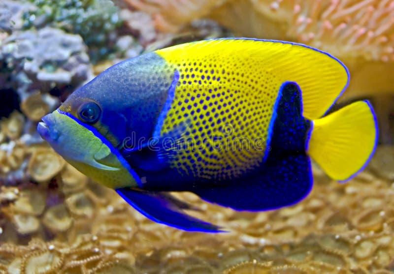 被环绕的6条神仙鱼蓝色 库存图片