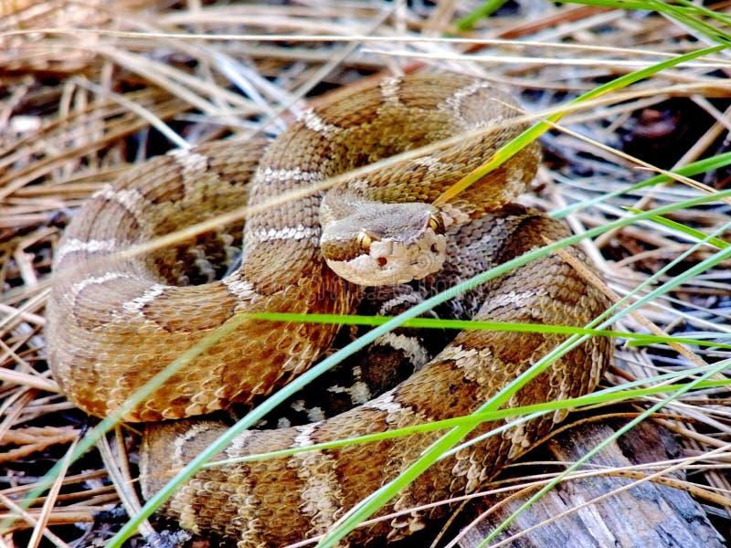 被盘绕的北和平的响尾蛇,卡斯泰拉,加利福尼亚,美国 免版税图库摄影