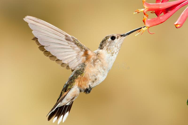 被盯梢的清楚的蜂鸟 免版税库存照片