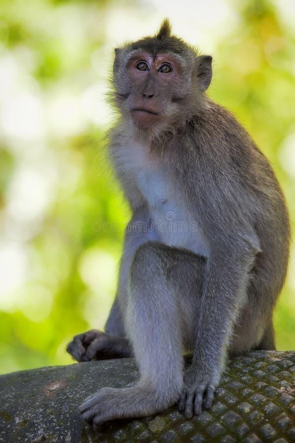 被盯梢的长的短尾猿猴子 库存照片