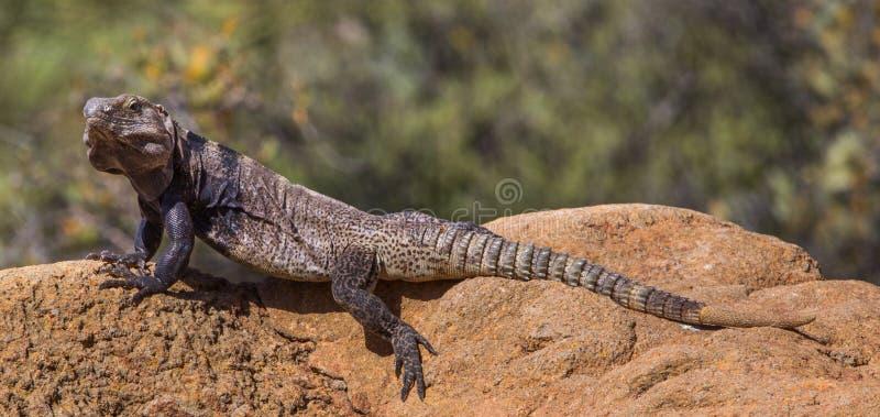被盯梢的鬣鳞蜥多刺 免版税库存图片