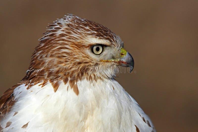 被盯梢的鹰红色 库存图片