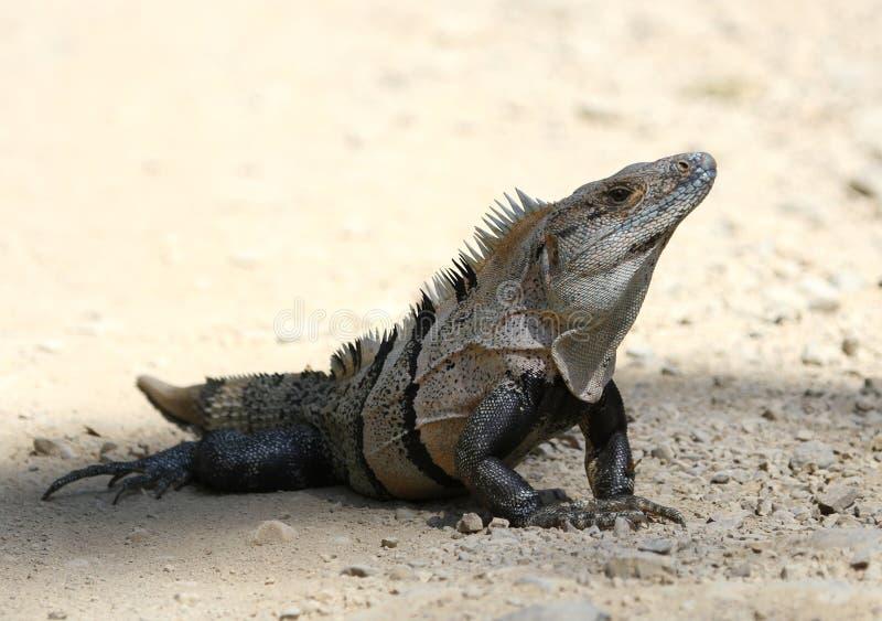 被盯梢的黑色鬣鳞蜥多刺 库存图片