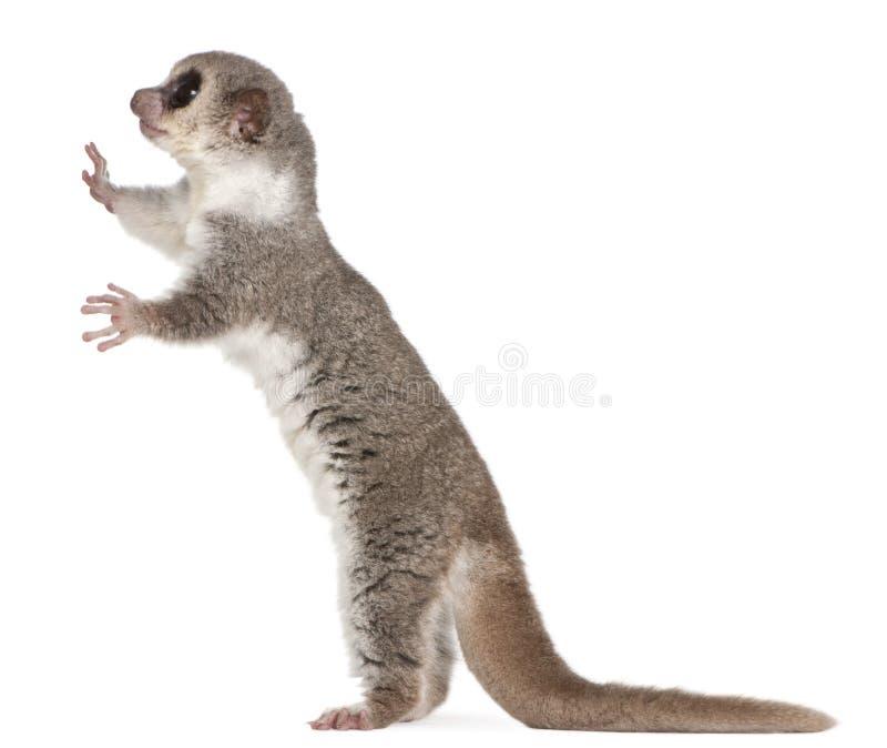 被盯梢的cheirogaleus矮小的肥胖狐猴medius 免版税库存图片